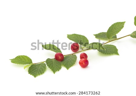 Nanking cherry  leaves and berries isolated on white - stock photo
