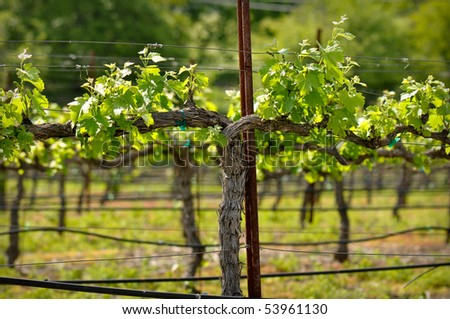 Napa Valley Green Grape Vine closeup in Spring - stock photo