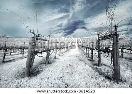 Napa Valley vineyard in the winter in infrared. - stock photo