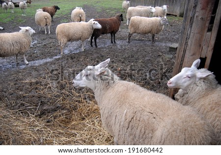 NAPAVINE, WASHINGTON � AUGUST 5, 2009 �A sheep barn is situated at a dairy farm in Washington state.