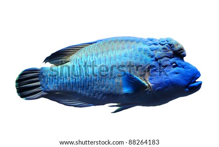 Napolean fish isolated on white background - stock photo