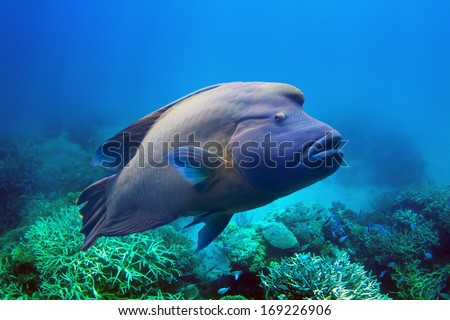 Napoleon Fish swimming at the Great Barrier Reef - stock photo