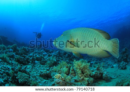 Napoleon Wrasse (Cheilinus undulatus) and Scuba Diver in Ras Mohamed National Park, Red Sea, Egypt