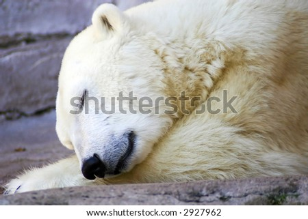 Napping Polar Bear - stock photo