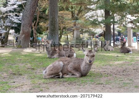 Nara Deer - stock photo
