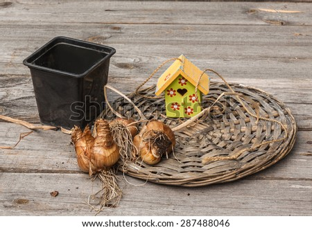 Narcissus bulbs after flowering on a wooden table - stock photo