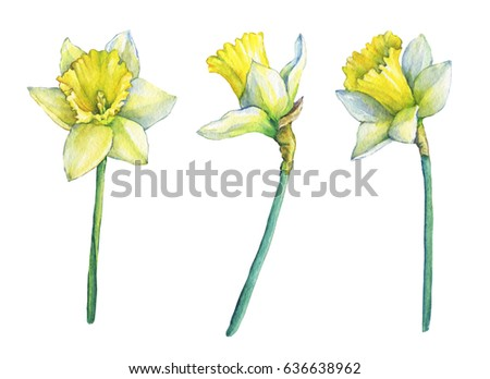 Names of yellow flowers with pictures not sure what is the name of narcissus common names daffodil flowering plant with yellow flowers hand drawn watercolor mightylinksfo