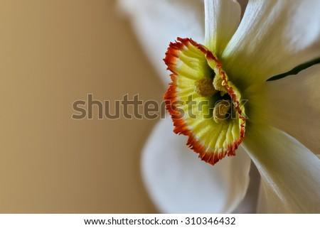 Narcissus extreme closeup - stock photo