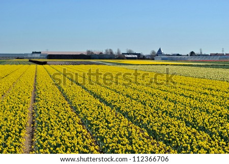 Narcissus fields in the spring of The Netherlands. - stock photo
