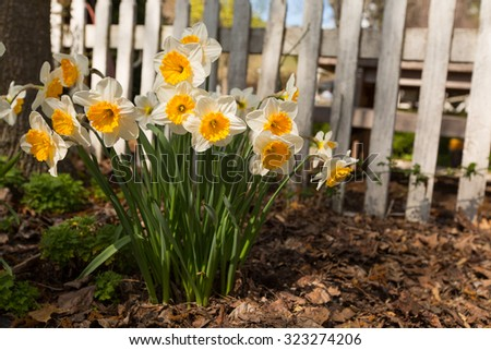 narcissus flowers blooming in spring - stock photo