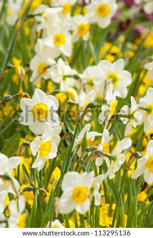 narcissus flowers in garden, springtime - stock photo
