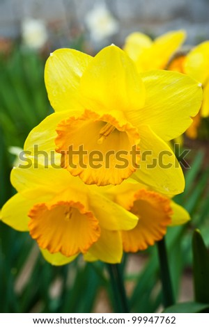 Narcissus in the garden - stock photo