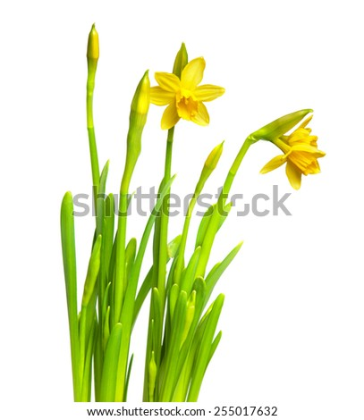 narcissus isolated on white - stock photo