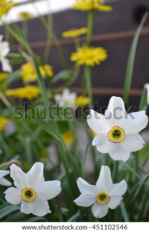 Narcissus. Narcissus poeticus actaea. Bushes narcissus flowers on blurred background. Yellow daisies in the background. Close-up. Vertical photo. Card - stock photo