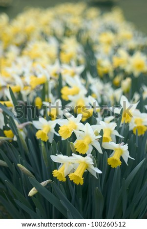 Narcissus or daffodil in an English garden, shallow depth of field. - stock photo