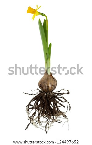 Narcissus plant, root ball, close up - stock photo