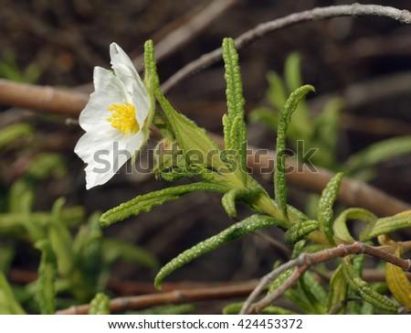 Narrow-leaved Cistus - Cistus monspeliensisWhite Flower from Cyprus - stock photo