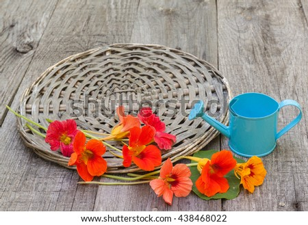Nasturtium (Kapuzinerkresse - Tropaeolum majus) flowers on a wooden table on a background of blue watering can - stock photo