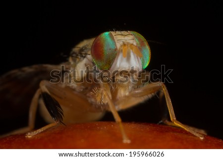Natal Fruit fly - stock photo