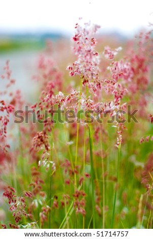 Natal grass - stock photo