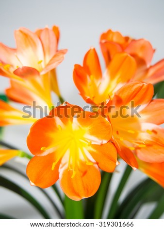 Natal lily (Clivia miniata is a species of flowering plant native to damp woodland habitats in South Africa