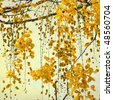National tree of Thailand Golden Shower Tree Art Print - stock photo