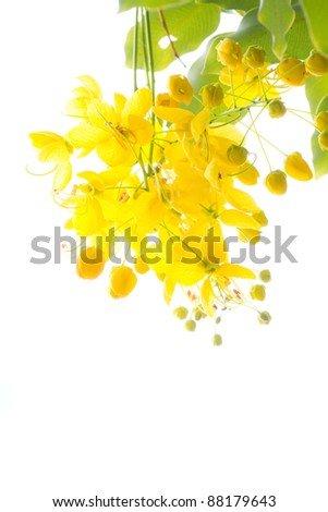 National tree of Thailand Golden Shower Tree Art Print - stock photo