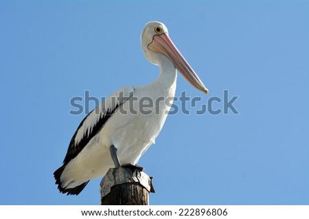 Native Australian Pelicans on wooden pole in the Gold Coast in Queensland, Australia. - stock photo