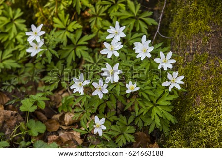 Native woodland plant uk which flowers stock photo royalty free native woodland plant in the uk which flowers early in spring with small white flowers mightylinksfo