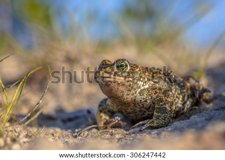 Natterjack toad (Epidalea calamita) in natural sandy habitat. With blue sky and shallow DOF
