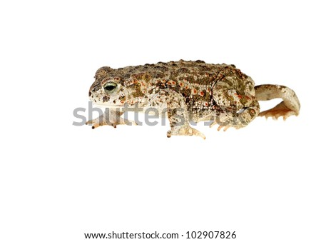 natterjack toad isolated on white background young