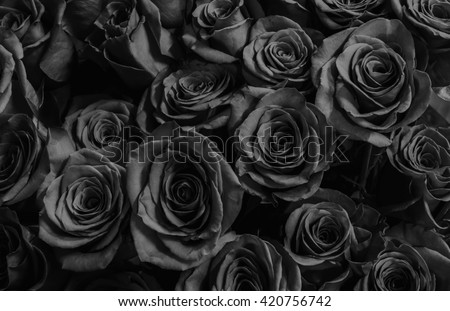 Natura roses background. greeting card with a luxury roses. - stock photo