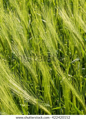 Natural abstract eco background with green fresh wheat in the wind - stock photo