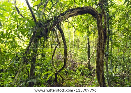 Natural arch formed by lianas in the rainforest understory, Ecuador - stock photo