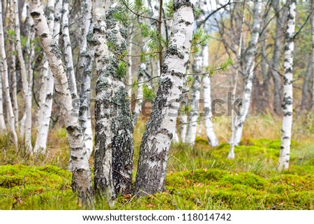 Natural background - a autumn birchwood - stock photo
