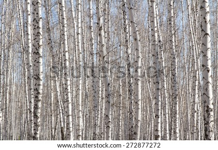 Natural background as birchwood - stock photo