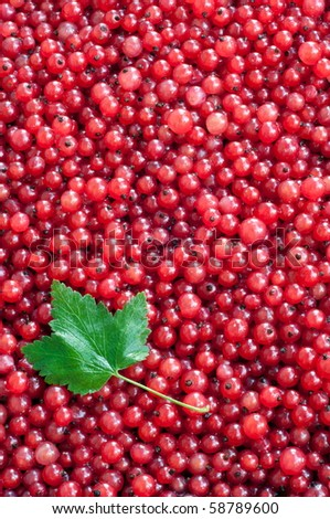Natural background: berries of a red currant. Summer, July,. Summer, July, the Central Russia
