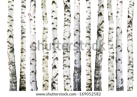 natural background - birch - wallpaper  - stock photo