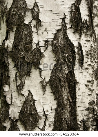 Natural background - close-up of an old birch tree with more white color