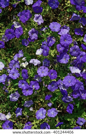 Natural background of many violet Petunia flowers in sunlight.