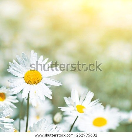 Natural background with daisies in the sun - stock photo
