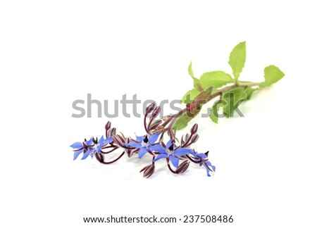natural blue Borage on a light background - stock photo
