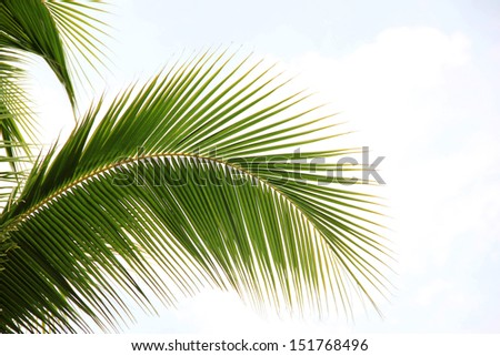 Natural coconut leaves - stock photo