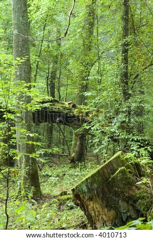 Natural deciduous forest and stump in foreground - stock photo