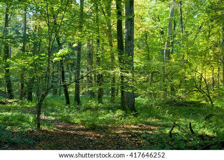 Natural deciduous stand of Bialowieza Forest with old hornbeam trees in sunny fall day, Bialowieza Forest, Poland, Europe - stock photo