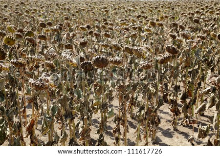 Natural disaster, drought in a sunflowers field, Serbia, Vojvodina 2012 - stock photo