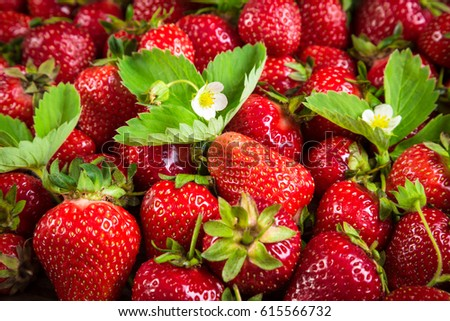natural food background with plenty of ripe strawberry and green leaves and flowers; selective focus