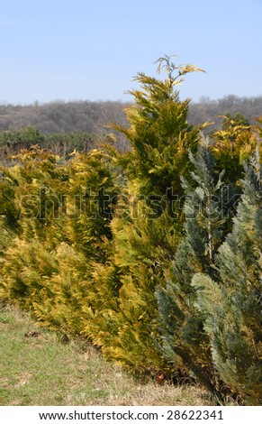natural green golden thuja fence outdoor - stock photo