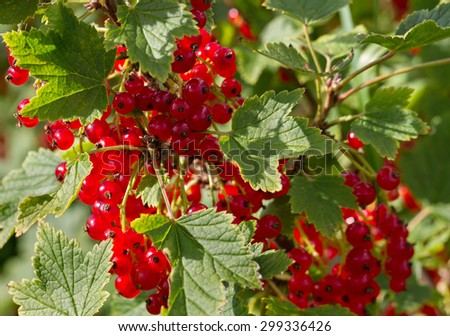Natural growing red currants on the field. - stock photo