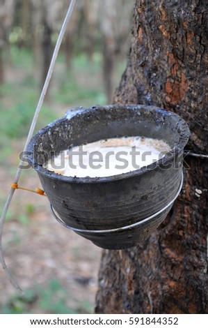 Natural liquid rubber from tree in rubber cup, Raw rubber white in black cup from tree